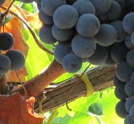 Non si ottiene un vino pregiato senza uve di qualità