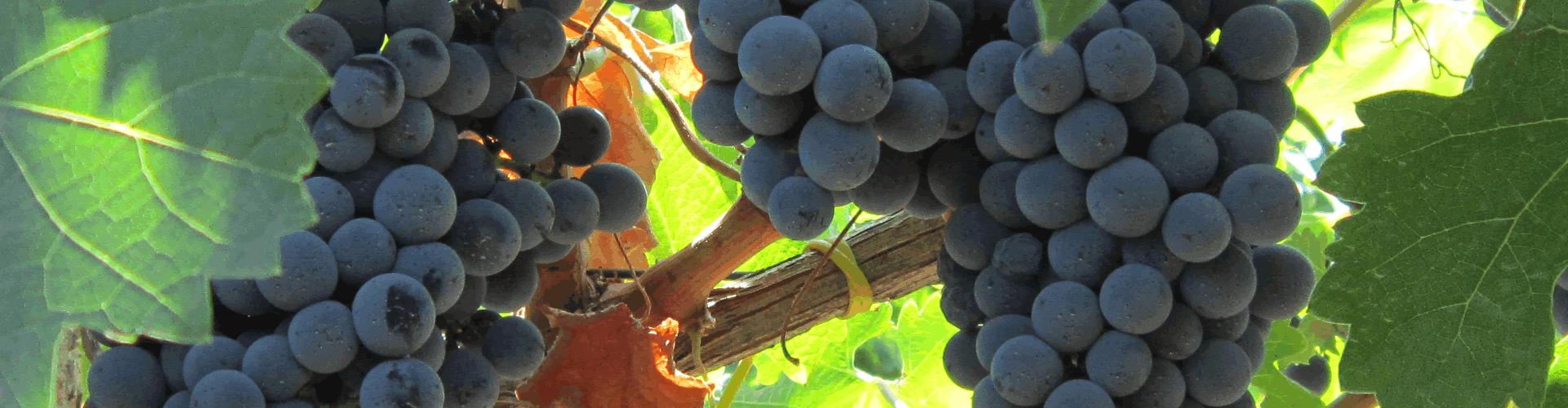 Progetto LIELUC: lieviti indigeni per la DOC Matera, PIF Vini di Lucania